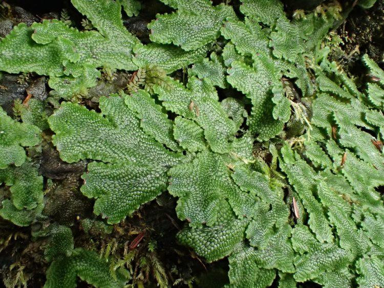 Conocephalum conicum
