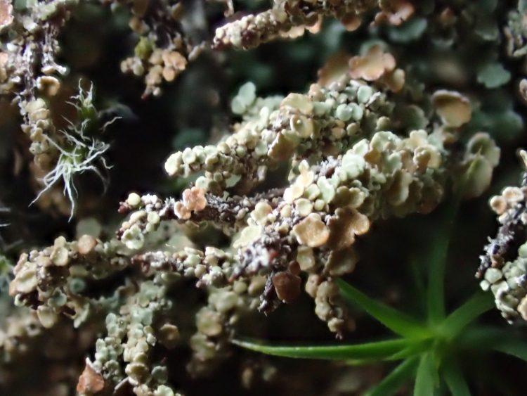 Cladonia macrophylla